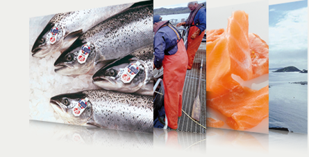 Pictures of Scottish salmon with red label